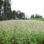 Đến Bắc Hà chiêm ngưỡng hoa Hồng Mi