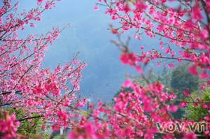 Hoa anh đào Sapa