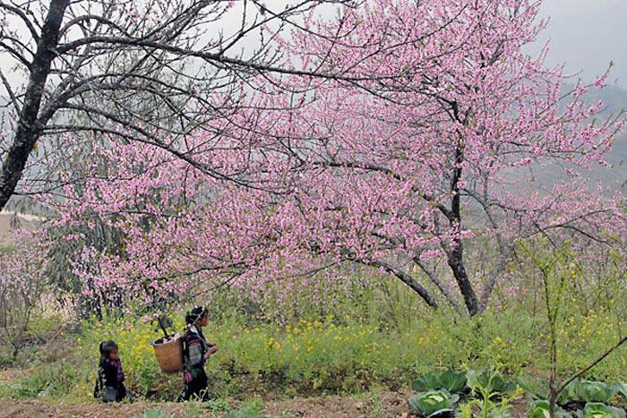 Vẻ đẹp vườn hoa đào Sapa