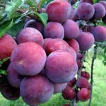 Điểm danh hoa thơm trái ngọt Sapa