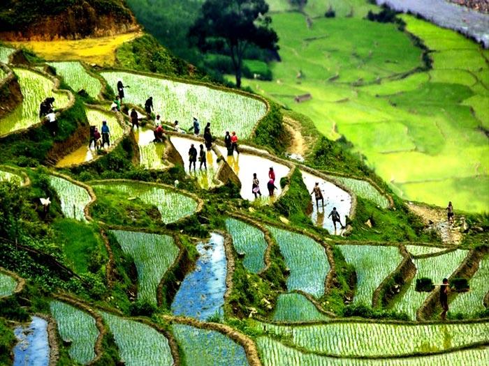 Người dân đang cấy lúa trên ruộng bậc thang