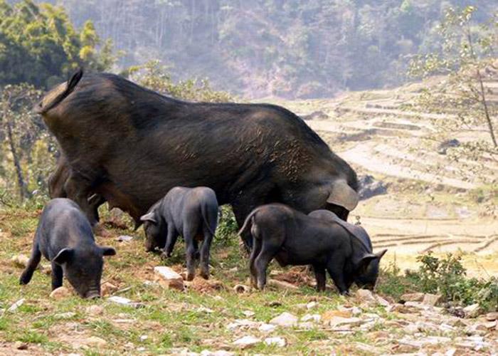 Lợn cắp nách Sapa được nuôi thả rông ngoài đồi