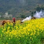 Mùa hoa cải vàng trên Hà Giang