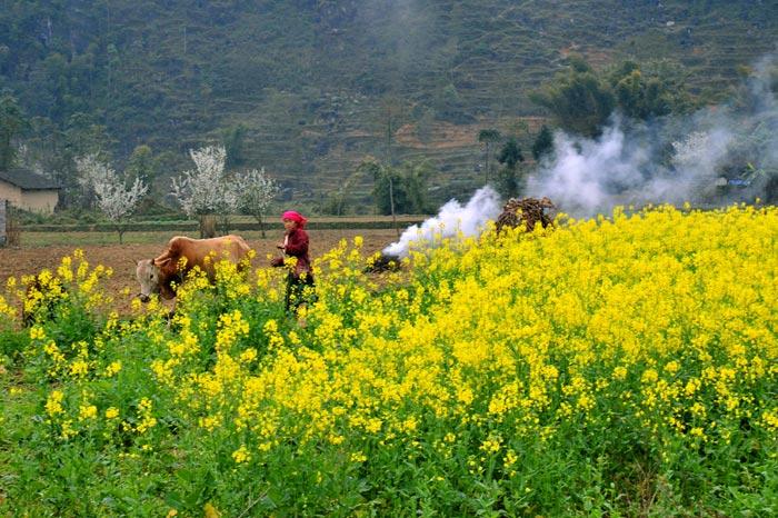 Rực rỡ mùa hoa cải vàng ở Hà Giang