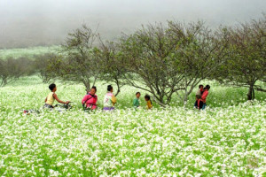 Hoa cải Mộc Châu