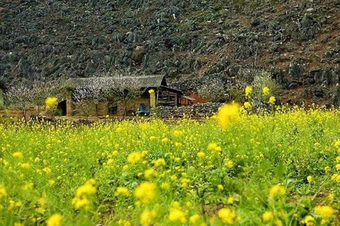 Sắc hoa cải vải nở rộ ở Hà Giang