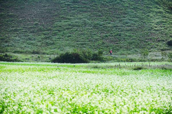 Hoa cải nở bên triền núi