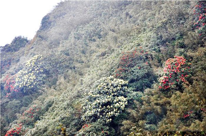 Vạt hoa đỗ quyên trên núi