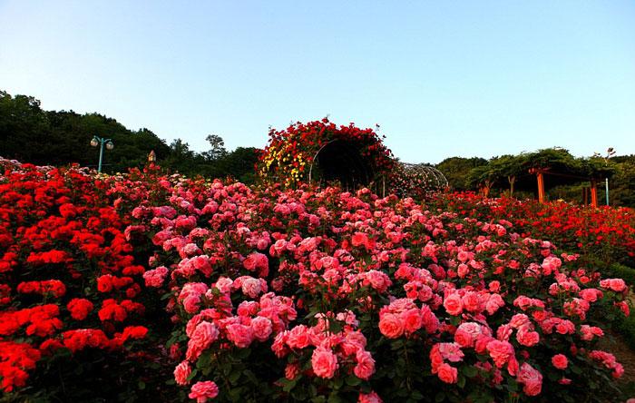 Vườn hồng Sapa