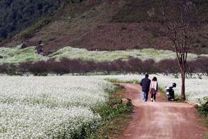 mùa hoa cải trắng Mai Châu